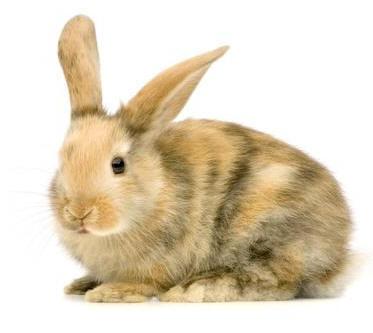 primo_coniglio